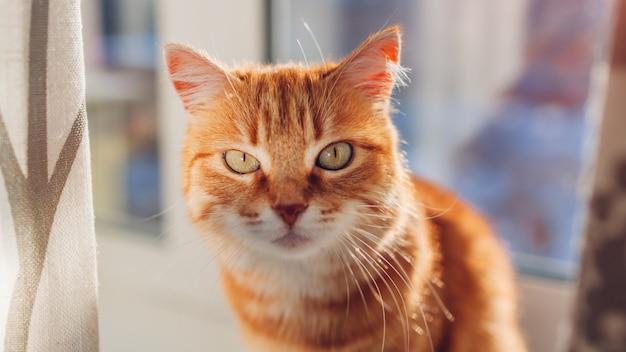 Gengibre gato sentado no parapeito da janela em casa de manhã