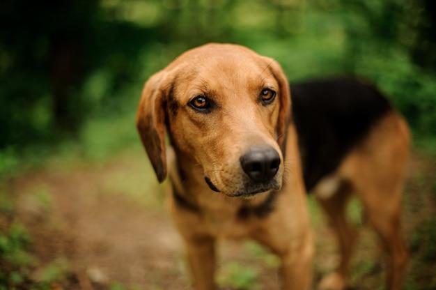 Gengibre marrom bonito e pé de cachorro preto na floresta