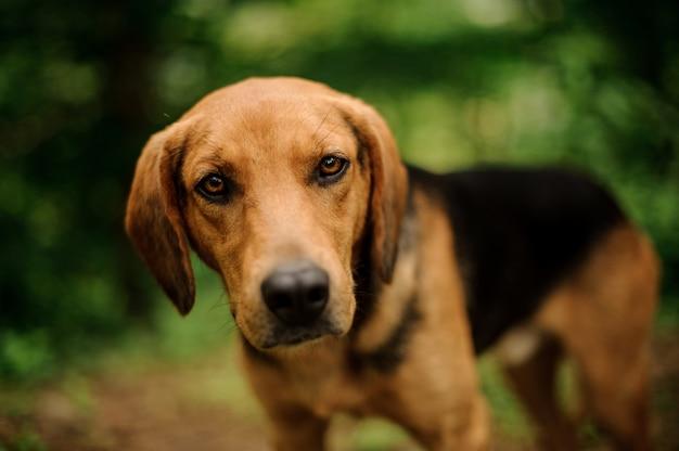 Gengibre marrom concentrado e cachorro preto olhando