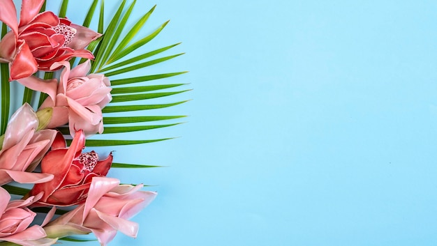 Gengibre tocha de flor tropical vermelha e rosa (etlingera elatior) sobre fundo azul, cópia espaço, banner