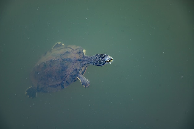 Geoffroy's side-necked turtle da espécie phrynops geoffroanus