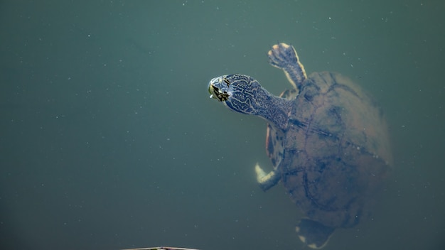 Geoffroys tartaruga de pescoço lateral da espécie phrynops geoffroanus