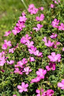 Gerânio rosa florescendo abundantemente em um jardim em east grinstead
