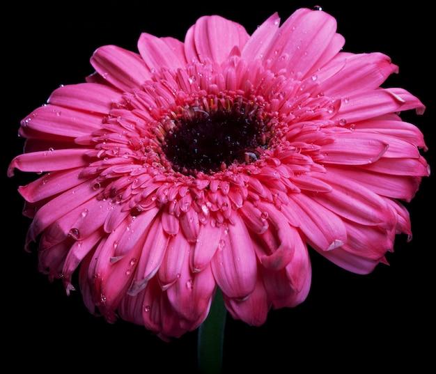 Gerber cor-de-rosa com gota da água tiro .macro.
