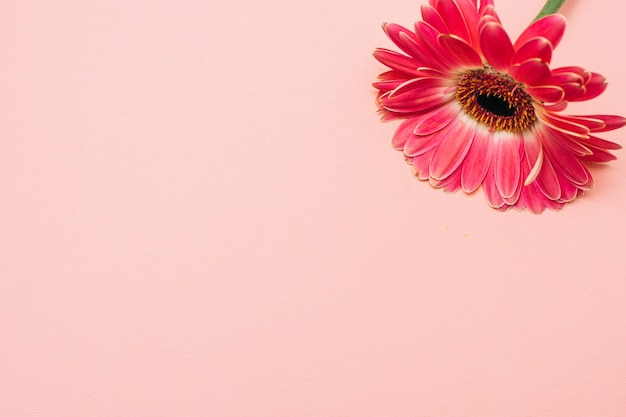 Gerber em um fundo rosa. única flor em fundo pastel.