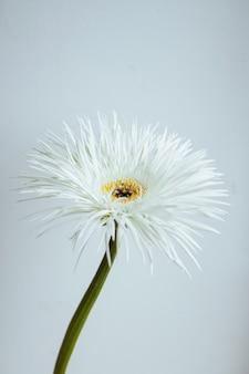 Gérbera de flor branca sobre fundo cinza macro close-up vista