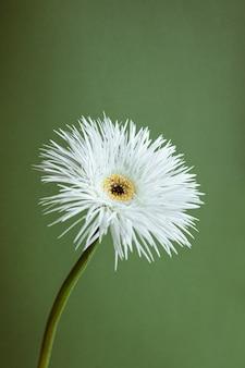 Gérbera de flor branca sobre fundo verde macro close-up vista