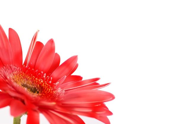 Gérbera de flor vermelha isolada no fundo branco