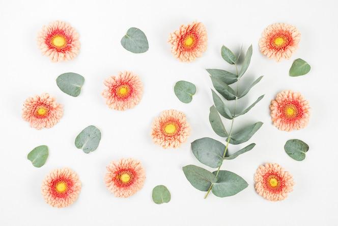 Gerbera flores e folhas verdes em fundo branco