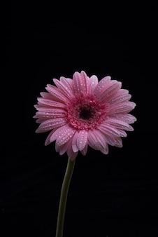 Gerbera flores isoladas no fundo preto