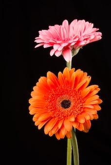 Gerbera laranja e rosa isoladas em fundo preto