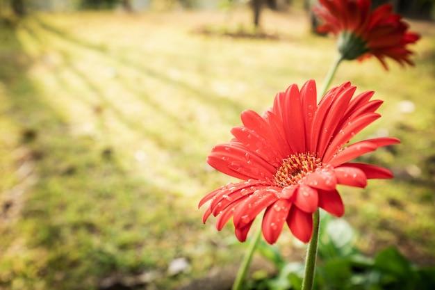 Gerbera ou barberton flor margarida grupo florescendo com gotas de água e luz do sol no fundo do jardim