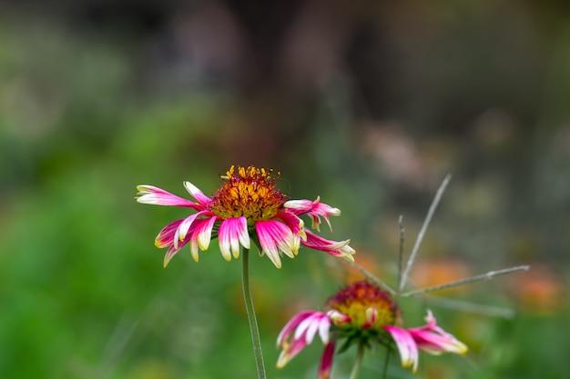 Gerbera ou gaillardia aristata ou flor de cobertura flor amarela vermelha em plena floração em plena floração