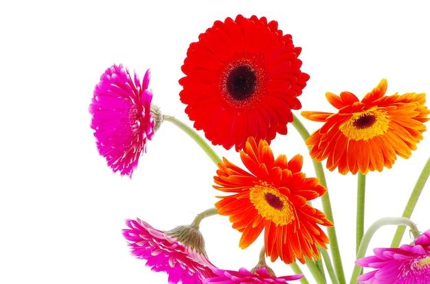 Gérberas de flores coloridas em fundo branco