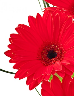 Gerberas vermelhas close-up