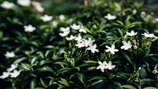 Gerdenia crape jasmine com fundo de folhas verdes. foco seletivo.