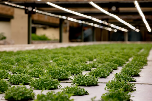 Germinação de rúcula em lã de rocha para hidroponia. preparando-se para o cultivo de plantas no jardim. broto verde. terreno fértil. produto natural.