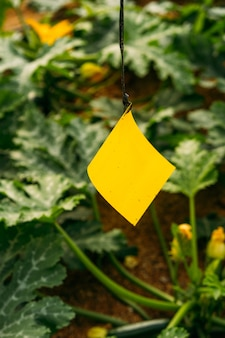 Gestão de pragas e doenças em estufas usando adesivo amarelo e azul com hormônio. para capturar insetos voadores, como pulgão, tripes, mosca branca e outros.