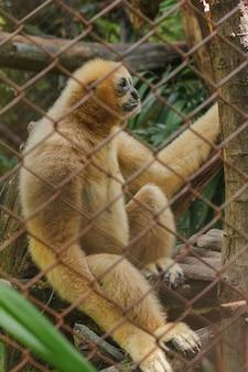 Gibão branco-cheeked do norte em uma gaiola.