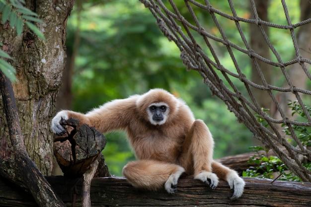 Gibão branco-entregue que senta-se sozinho na madeira.