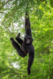 Gibbon está pendurado em uma árvore.
