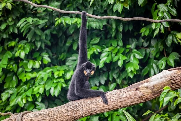 Gibbon preto amarelo de bochecha