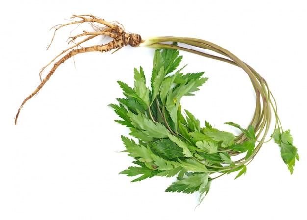 Ginseng da planta medicinal isolado no branco.