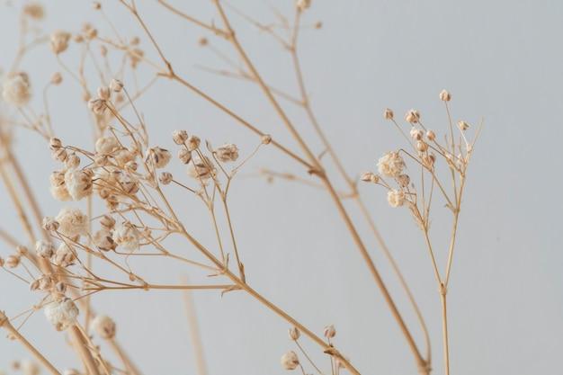 Gipsófila seca em um fundo cinza