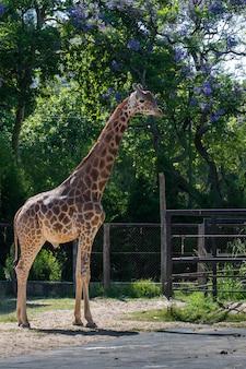 Girafa bonitinha em pé sob as árvores dentro da esgrima