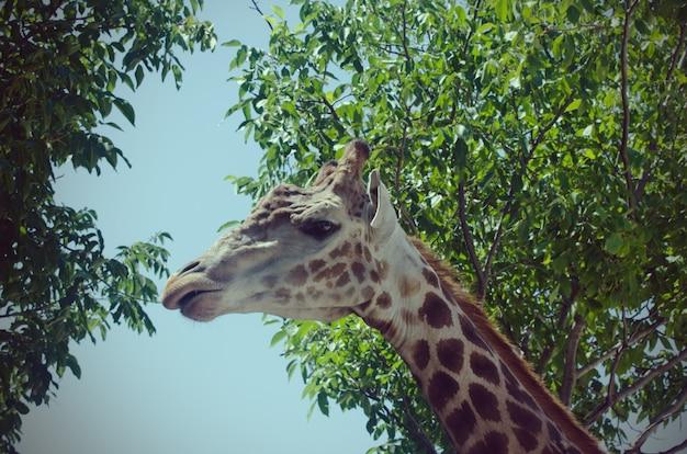 Girafa com árvores