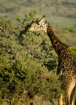 Girafa comendo no serengeti, tanzânia, áfrica