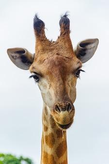 Girafa do zoológico no beto carrero world santa catarina, brasil
