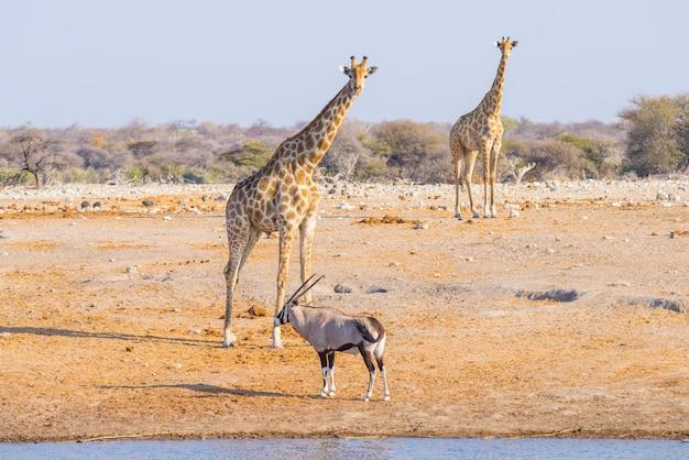 Girafa e oryx que andam no arbusto.