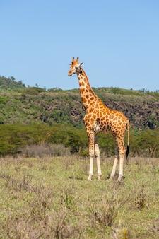 Girafa em ambiente natural