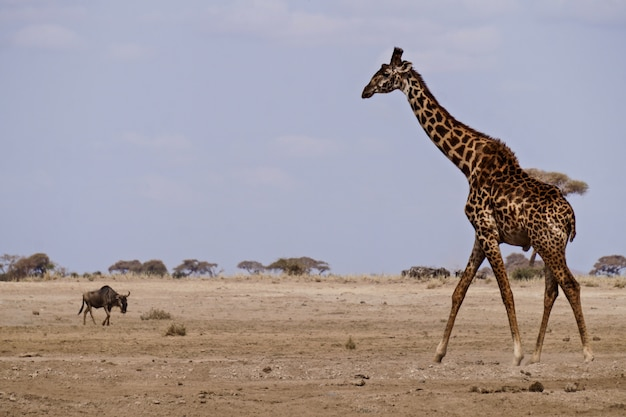 Girafa em amboseli national park - quênia