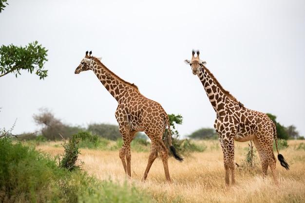 Girafa está caminhando entre o mato no cenário da savana