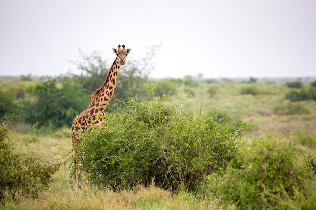 Girafa está de pé entre o mato e as árvores na savana do quênia