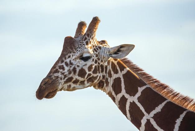 Girafa magnífica capturada em um dia ensolarado