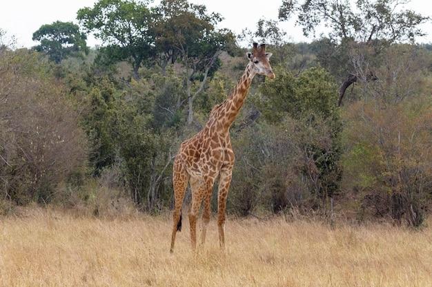 Girafa masai perto da orla da floresta masai mara quênia