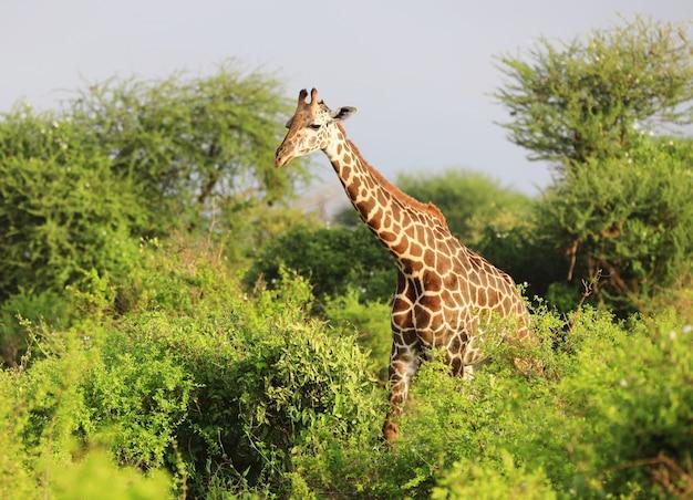 Girafa massai fofa no parque nacional tsavo east, quênia, áfrica