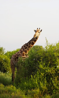Girafa massai fofa no parque nacional tsavo east, quênia, áfrica Foto gratuita
