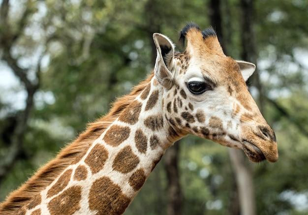 Girafa na floresta