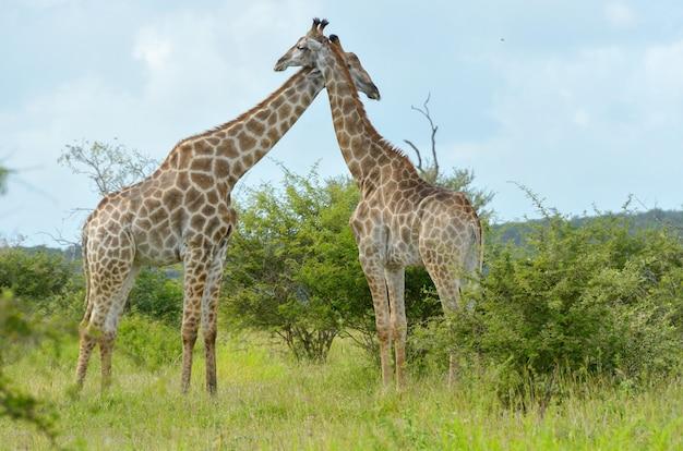 Girafa na savana, parque nacional kruger, áfrica do sul