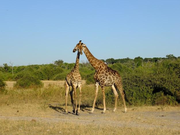 Girafa no safari no parque nacional de chobe, botswana, áfrica