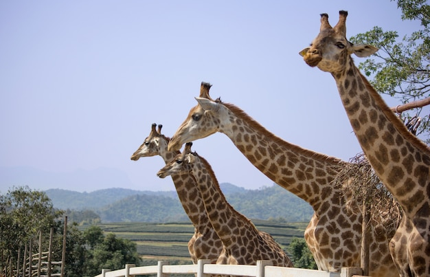 Girafa no zoológico nacional, tailândia