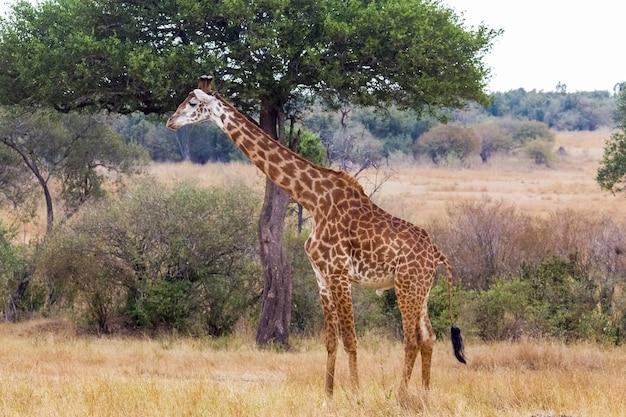 Girafa perto de uma grande árvore masai mara quênia