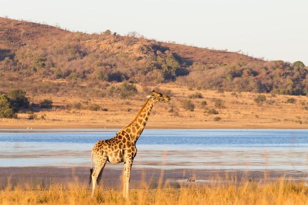 Girafa perto do parque nacional de pilanesberg, na áfrica do sul. safari e vida selvagem. girafa do cabo ou girafa sul-africana