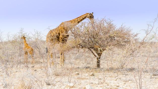 Girafa que come no parque nacional de etosha em namíbia, áfrica.