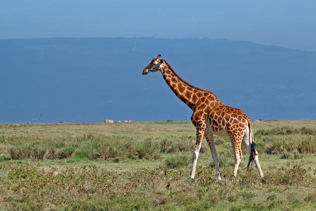 Girafa selvagem na savana africana