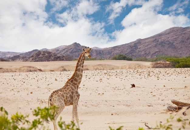 Girafa selvagem no mato africano, namíbia